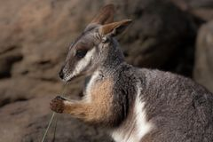 Australian Yellow footed rock wallaby Stock Photography