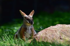Australian Yellow footed Rock Wallaby Royalty Free Stock Photography