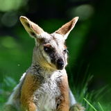 Australian Yellow footed Rock Wallaby Stock Image