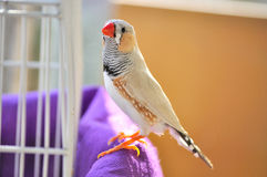 Australian Zebra finch royalty free stock photos
