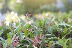 Australiano austral Rose Apple do syzygium fresco colorido, cereja da escova, angra Lily Pilly, cesto Satinash com orvalho e luz  fotografia de stock royalty free