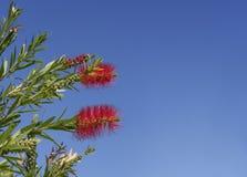 Australiano Callistemon en flor Foto de archivo
