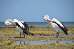 Australiano dos pelicanos brancos que descansa na costa de Austrália Imagens de Stock Royalty Free