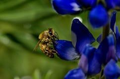 Australiano Honey Bee Fotos de archivo libres de regalías