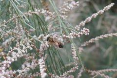 Australiano Honey Bee Collecting Nectar Foto de archivo libre de regalías