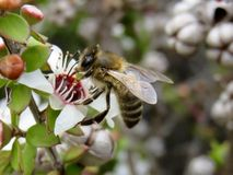 Australiano Honey Bee Pollinating Manuka Flower Foto de archivo