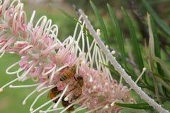 Australiano Honey Bees Fotos de archivo