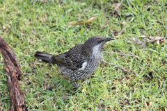 Australiano pouco pássaro do Wattle Fotografia de Stock
