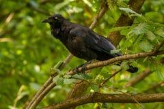 Australiano Raven Corvus Coronoides Canberra fotos de stock