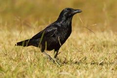 Australiano Raven - uccello delle passeriforme dei coronoides di corvo nel genere corvo indigeno a molta dell'Australia del sud e fotografia stock