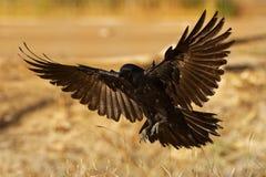 Australiano Raven - uccello delle passeriforme dei coronoides di corvo nel genere corvo indigeno a molta dell'Australia del sud e fotografia stock libera da diritti