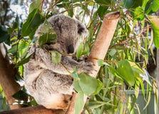 Australias Native Bear. A koala in Australia is sitting on a tree branch stock photography