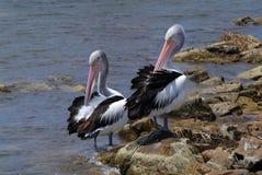 Australie, île de kangourou, zoologie Photographie stock