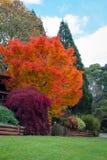 Australie bleue de montagnes de Mt Tomah d'arbres de chute d'automne Photos libres de droits