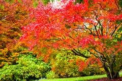 Australie bleue de montagnes de Mt Tomah d'arbres de chute d'automne Image libre de droits