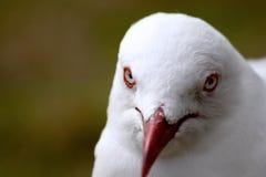 Australie de mouette Photographie stock libre de droits