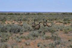 Australie, NSW, émeus vivants sauvages Photos libres de droits