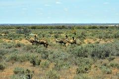 Australie, NSW, zoologie, émeu Photographie stock libre de droits