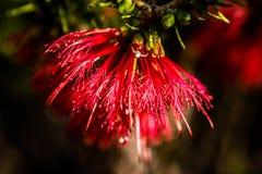 Australie occidentale de fleur sauvage de brosse de bouteille d'écarlate Images libres de droits