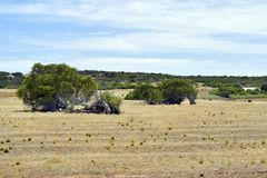 Australie, Australie occidentale, nature, arbre de penchement Images stock