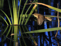 Australie Reed Warbler Photographie stock