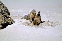 Australie, SA, île de kangourou Photos stock