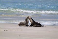 Australie, SA, île de kangourou Photographie stock