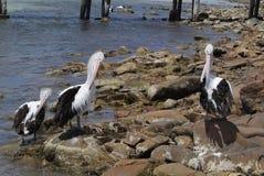 Australie, SA, île de kangourou, zoologie Photos stock