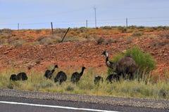 Australie, zoologie, émeu Image libre de droits
