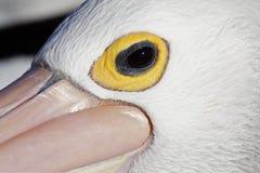 australien ögonpelikansolnedgången till Arkivbild