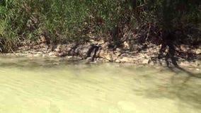 Australien, Alligatorfluß, kakadu, Alligator steht auf der Bank des Flusses still, uns beobachtend stock video footage