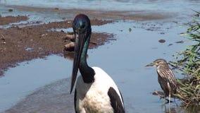 Australien, Alligatorfluß, Nationalpark Kakadu, schwarzer necked Storch, Ephippiorhynchus asiaticus stock video footage