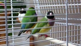 Australien Amadines dans la cage clips vidéos