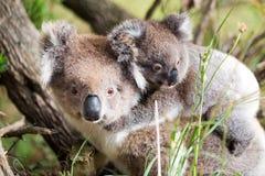Australien-Baby-Koalabär und -mutter an der Unterseite eines Baums Lizenzfreie Stockfotografie