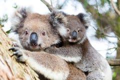Australien-Baby-Koalabär und -mutter, die auf einem Baum sitzen Stockfotos