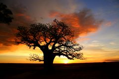 Australien baobabkimberly tree Arkivfoto