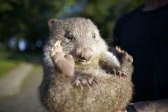 Australien behandla som ett barn wombat Royaltyfria Foton