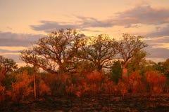 Australien boabkimberly tree Royaltyfri Foto