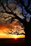 Australien boabkimberly tree Royaltyfria Bilder