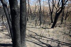 Australien buske brand: brända stammar royaltyfria foton