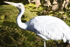 Australien fågelbrolga Arkivbilder