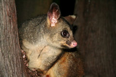Australien gemensam brushtailpungråtta arkivfoton