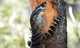 Australien Goanna (moniteur de dentelle) Images stock