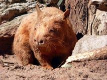 Australien, Hinterland, ein Wombat lizenzfreie stockfotografie