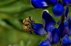 Australien Honey Bee Photos libres de droits