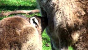 Australien känguruö, utfärd i vildmarken, övre sikt för slut av lite att avsöndra mjölk kängurun stock video