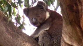 Australien känguruö, utfärd i vildmarken, sikt av ett koalasammanträde på filialerna av ett eukalyptusträd stock video