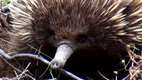 Australien, Känguruinsel, Exkursion im Hinterland, Abschluss herauf Ansicht eines schüchternen Echidna stock video footage