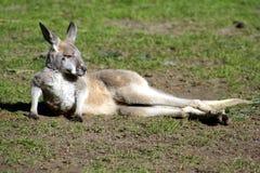 Australien känguruunge känguru Arkivbild