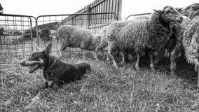 Australien-Kelpie-Gräberarbeitsschafe Lizenzfreies Stockfoto